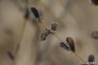 키버들의 숫꽃