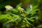 태백바람꽃