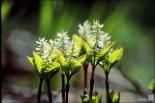 홀아비꽃대