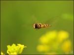 꽃등에의 비행