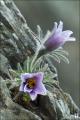 동강할미꽃 2