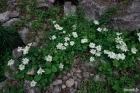 큰꽃으아리