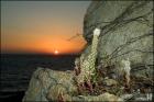 석양의 바위솔