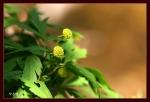 회리바람꽃