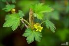 까마귀밥나무