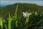 노랑무늬붓꽃