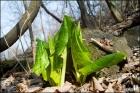 앉은부채의 잎