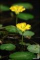 노랑어리연꽃