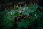 세뿔투구꽃