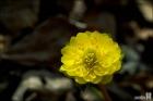 겹꽃 복수초