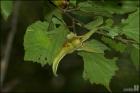 참개암나무