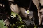 만주바람꽃