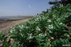 흰순비기나무