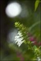 흰며느리밥풀
