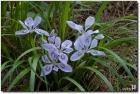 각시붓꽃(흰색)