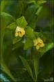 감나무 꽃