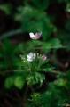 남방바람꽃